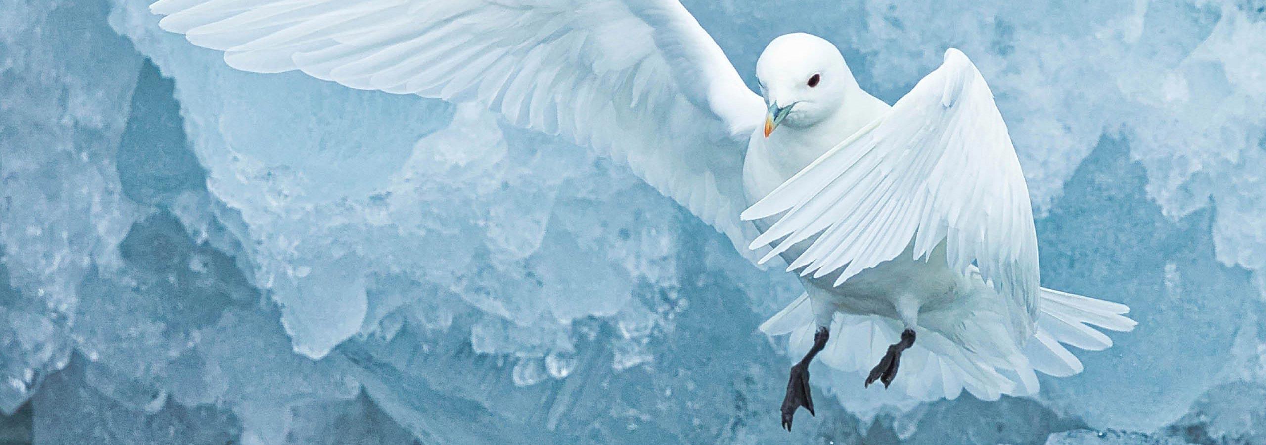 Rare Ivory Gull  Gary Revesz